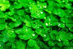 满地露水的植物绿色盖子背景叶子  免版税库存照片