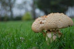 满地露水的真菌 免版税库存图片