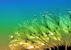 满地露水的蒲公英 库存照片