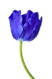 满地露水的蓝色郁金香 免版税库存照片