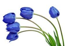 满地露水的蓝色郁金香 免版税库存图片