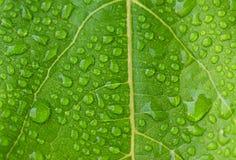满地露水的绿色叶子 美好的绿色新自然本底 免版税图库摄影