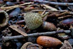 地面在森林用橡子报道关闭  免版税库存照片