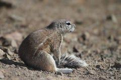 地面坐的灰鼠星期日 免版税图库摄影