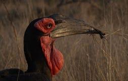地面犀鸟 免版税图库摄影