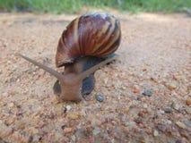 地面生长工厂小的蜗牛 库存图片