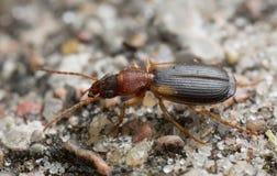 地面甲虫, Cymindis angularis 库存图片