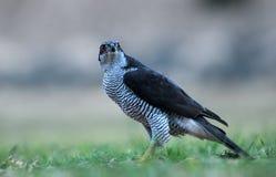 从地面观察的成人苍鹰 免版税库存照片
