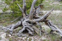 从地面连根拔的独特的树 免版税库存照片