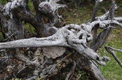 从地面连根拔的独特的树 免版税图库摄影