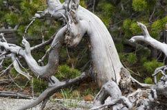 从地面连根拔的独特的树 库存图片