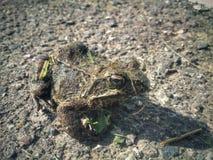 地面青蛙 库存照片