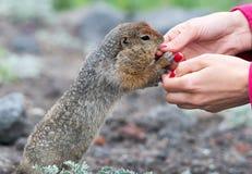 地面饥饿的灰鼠 免版税库存图片