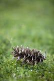 地面pinecone 库存图片