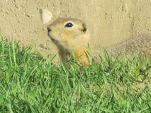 地面squirrel 库存图片