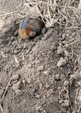 地鼠偷看矿穴 免版税库存照片