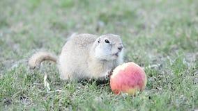 地鼠吃苹果 股票视频