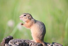 地鼠(欧洲地松鼠, suslik) 免版税库存图片