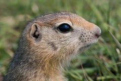 地鼠 免版税库存图片