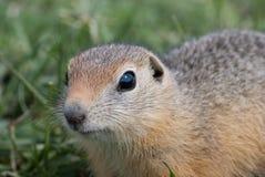 地鼠 免版税库存照片