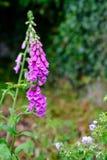 洋地黄purpurea在庭院里 库存照片