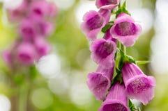 洋地黄purpurea 免版税库存照片