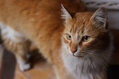 围场猫 图库摄影
