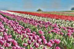 场面de tulipe voilée 库存照片