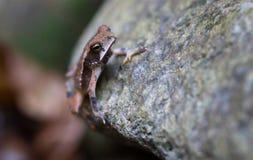 坎伯的雨林蟾蜍 库存图片