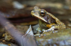 坎伯的雨林蟾蜍 免版税库存照片