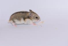 坎伯西伯利亚仓鼠奔跑 图库摄影