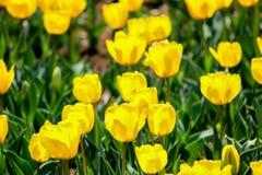 坎德拉在昭和Kinen KoenShowa纪念公园,立川市,东京,日本的Fosteriana郁金香在春天 免版税库存图片