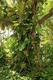 坎昆墨西哥树和常春藤 库存图片