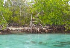 坎昆美洲红树 免版税库存图片