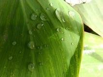 坎纳叶子水Dropsï ¼ Œgreen叶子露水植物 库存照片