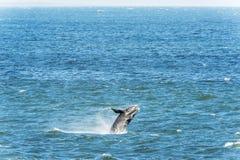 破坏正确的南部的鲸鱼 免版税库存图片