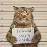 坏猫嚼了信用卡 免版税库存照片