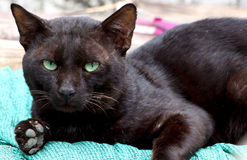 黑坏猫 图库摄影
