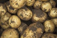 坏的土豆 免版税库存图片
