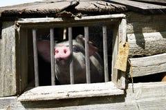 坏的猪 库存照片