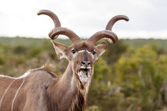 坏草-更加伟大的Kudu -非洲羚羊类弯角羚类 免版税库存图片
