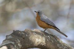 坐一棵树一个厚实的分支在绿洲的Silverbird 免版税库存照片