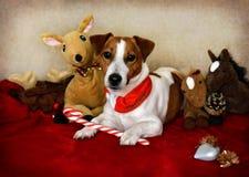 坐下与玩具的杰克罗素狗在他和圣诞节附近 免版税库存照片