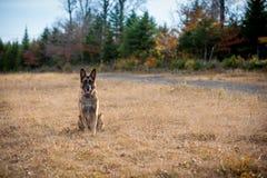 坐下在领域的德国牧羊犬狗 库存照片