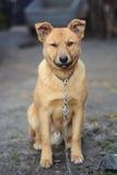 坐下美丽的狗 免版税库存照片
