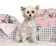 坐与圣诞节礼品的中国有顶饰狗 免版税库存图片