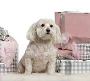 坐与圣诞节礼品的马耳他狗 图库摄影