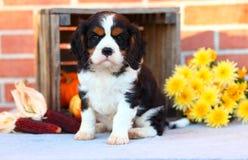 坐与在砖墙前面的秋天装饰的骑士国王查尔斯狗小狗 免版税库存图片