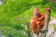 坐与密林的成人猩猩作为背景 免版税库存照片