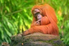 坐与密林的成人猩猩作为背景 免版税库存图片